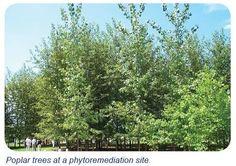 Phytoremediation - An Environmental Saviour! http://www.isfoundation.com/news/phytoremediation-environmental-saviour