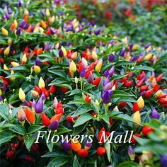 Cheap hot pepper seeds, Buy Quality pepper seeds directly from China vegetable seeds Suppliers: bag Ornamental Hot Pepper seeds multicolored vegetable seeds Prairie Fire Edible Grow flores bonsai Inside Home sementes Garden Seeds, Planting Seeds, Planting Flowers, Fruit Seeds, Tomato Seeds, Cherry Seeds, Bonsai Plants Online, Capsicum Annuum, Comment Planter