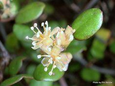 NZ wire vine- Muehlenbeckia complexa (Scrambling pohuehue)