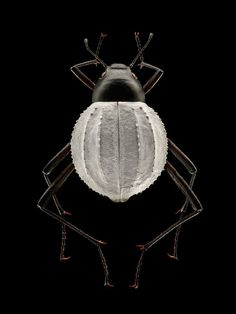 Levon Biss photographer: insect specimens found at the Oxford Museum of Natural History.      /     Darkling Beetle (Stenoeburnea (Coleoptera, Tenebrionidae)