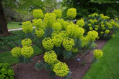 15 Seeds w/Growing Guidelines - Euphorbia Characias ssp. wulfenii is a dramatic perennial plant that grows Rockery Garden, Garden Shrubs, Shade Garden, Garden Plants, Xeriscaping, Gardening Vegetables, Vegetable Garden, Landscaping Plants, Outdoor Landscaping