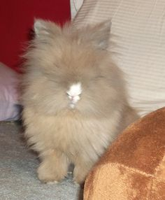 There's a Lionhead bunny in there!