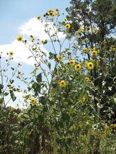Sunflower - Wild Scientific name: Helianthus annuus Abundance: plentiful What: young flowers, seeds