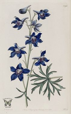 Menzies' Larkspur. Delphinium menziesii. Violet, wavy-edged flowers are ruffled and veined. Tuberous perennial 1.5-2 feet tall. The Botanical Register vol. 14 (1828) | by Swallowtail Garden Seeds
