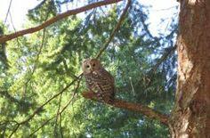 Barred Owl, seen at Cosy Woodpecker Cottage, Salt Spring Island. From http://saltspringmarket.com/salt-spring-island-for-nature-lovers/