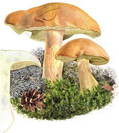 Vielä ehdit metsään: Näin löydät sienet Fungi, Stuffed Mushrooms, Vegetables, Food, Mushroom, Stuff Mushrooms, Mushrooms, Essen, Vegetable Recipes