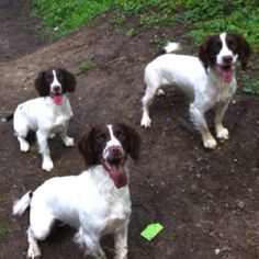Our springers Toby, Stanley & Winston