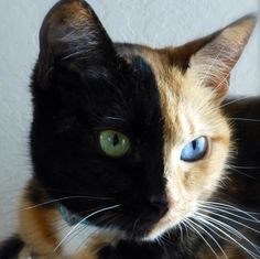 Two fluffs for the price of one. A 3yo half tortoiseshell, half orange tabby, with two different colored eyes. @Amanda Gumpper