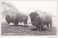 RP: Buffalo , BANFF , Alberta , Canada , 20-30s ; Byron Harmon Photo postcard #96 - Delcampe.com