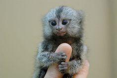 finger monkeys!