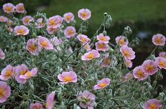Helianthemum nummularium...pink and gray...love it...spring flowering...