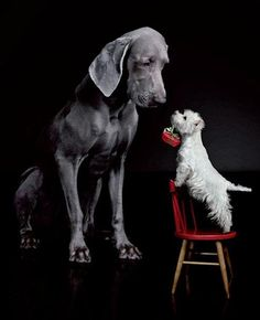 Westie and Great Dane