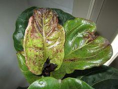 Bacterial Leaf Spot on Fiddle Leaf Fig House Plant Care, House Plants, Fiddle Leaf Fig Tree, Inside Plants, Indoor Plant Pots, Terrarium Plants, Tree Care, Fig Leaves, Blooming Plants