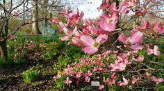 Cherokee Brave flowering dogwood | Flickr - Photo Sharing!
