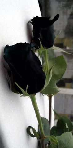 New flowers black rose beauty 33 Ideas Black Rose Flower, My Flower, Flower Art, Amazing Flowers, Beautiful Roses, White Roses, Red Roses, Gothic Garden, Dark Flowers