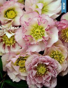 Helleborus Flower Girl