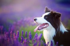 Border Collie; Lavender Memories. (by Basza).