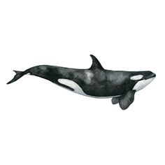 Image of The Killer Whale