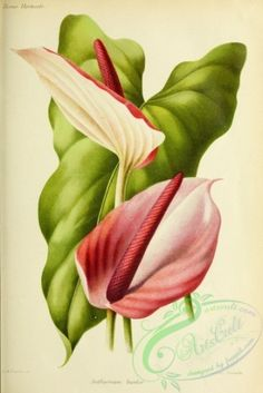 flowers-29503 - anthurium bicolor [3313x4948] - scan fabric domain Artscult vintage masterpiece download pre-1923  botanical supplies free plants collage picture Victorian art ornaments 1800s beautiful 17th flora printable pages 1900s collection illustration pack nice use commercial decoration 18th 300 dpi Edwardian nature Graphic royalty Pictorial engravings clipart botany Paper digital instant scrapbooking century naturalist floral 1700s old books paintings flower flowers transfer qulity…