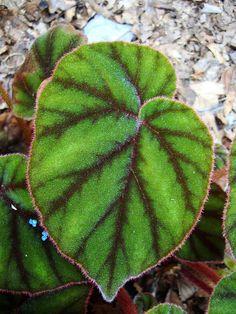 Begonia sp. 2