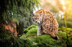Luchs vol.II by René Unger on 500px