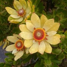 Leucadendron strobilinum near the highest part of Table Mountain Beast From The East, Unusual Flowers, Table Mountain, Habitats, South Africa, Geo, Plants, Ideas, Rare Flowers