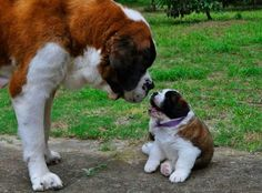 Bernard adult and puppy Big Dogs, I Love Dogs, Cute Baby Animals, Animals And Pets, Cute Puppies, Cute Dogs, St Bernard Puppy, Large Dog Breeds, My Animal