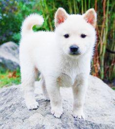 korean jindo puppy