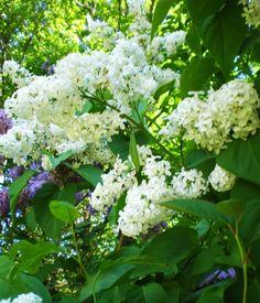 Common White Lilac  Syringa Vulgaris var. alba