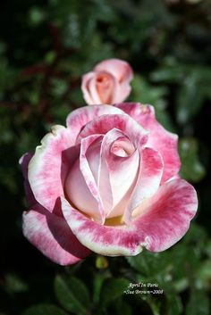 View picture of Hybrid Tea Rose 'April In Paris' (Rosa) at Dave's Garden.  All pictures are contributed by our community.