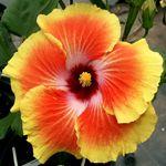 Exotic Hibiscus 'Acapulco Gold'