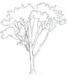 How to Draw Trees: Oaks