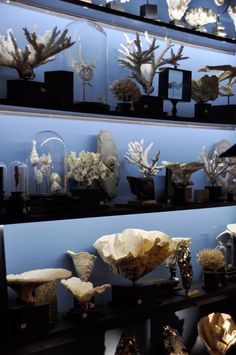 Object of curiosity - Atmosphere salons and descriptive. Cabinet Of Curiosities, Natural Curiosities, Shell Collection, Nature Collection, Seashell Display, Antique China Cabinets, Moorish, Displaying Collections, Taxidermy