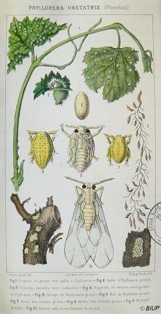 Planche représentant l'insecte responsable de la propagation du phylloxera et la façon dont il contamine les feuilles et les racines de la vigne...