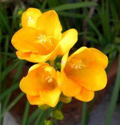 Yellow freesia - Summer