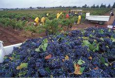 Vùng rượu vang Barossa - Tìm với Google