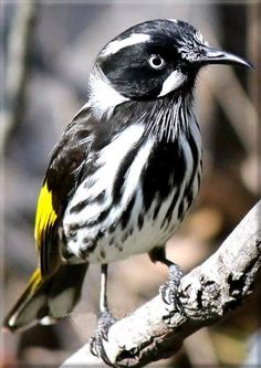 New Holland Honeyeater NSW East coast the male and female look the same Pretty Birds, Love Birds, Beautiful Birds, Animals Beautiful, Simply Beautiful, Small Birds, Little Birds, Colorful Birds, New Holland Honeyeater
