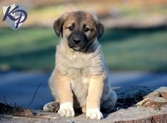 Keystone Puppies has a puppy finder feature setting you up to find and buy a dog perfect for your home. Anatolian Shepherd Puppies, Kangal Dog, Puppy Finder, Buy A Dog, Photo Boards, Puppies For Sale, Puppy Love, Doggies, Cute Animals