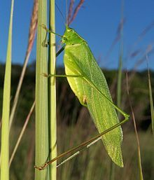 Tettigoniids (katydid, bush crickets, grass hoppers) are found on every continent except Antarctica.