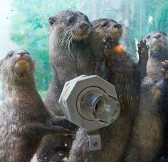 A group of otters at the zoo looking at the humans and encouraging them to stick their hand in the hole.