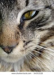 cat mouth close up - Google Search