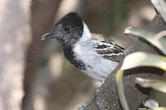 Collared Antshrike, male... Partner of previous pic...Christian Artuso: Birds, Wildlife: Peru: Part 2 - Dry Forests