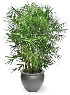 Bamboo Palm / Reed Palm | Best Indoor Plants