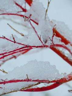 Red Maple in Snow