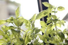 Grow an Herb Garden Indoors Year Round Step 1.jpg