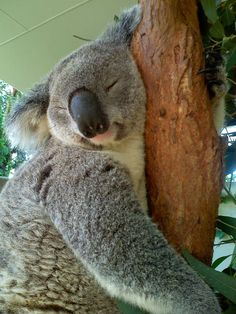 This droopy dude. | 21 Snoozing Koalas You Want To Snuggle With Right Now