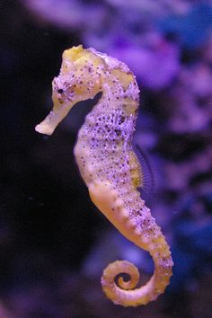 The Seahorse Echte lila Seepferdchen Underwater Animals, Underwater Creatures, Ocean Creatures, Underwater Life, Beautiful Sea Creatures, Animals Beautiful, Animals And Pets, Cute Animals, Sea Dragon