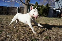 Tufts University researchers have been trying to track down the cause ofcompulsive tail chasing among bull terriers.But their findings have led them down a weird rabbit hole: Connections between compulsive behavior in dogs, horses and other animals...