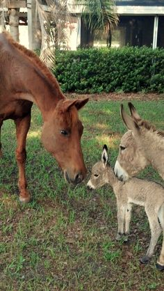 a baby donkey and its mother meet a horse