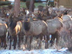 Elk in my backyard! Bend, Oregon